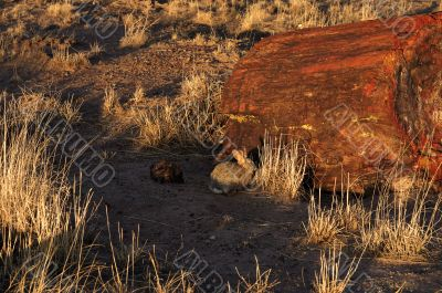 A rabbit in a Petrified forest