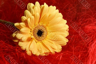 yellow gerbera daisy with droplets