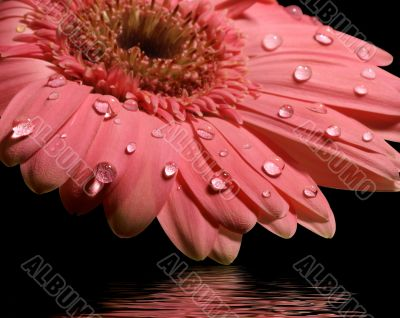 pink gerbera daisy with reflection