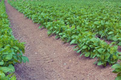 crop row