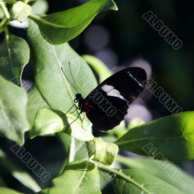 beautiful black butterfly