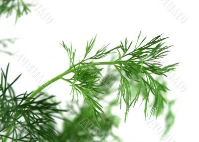 Fresh Herbs Dill 2