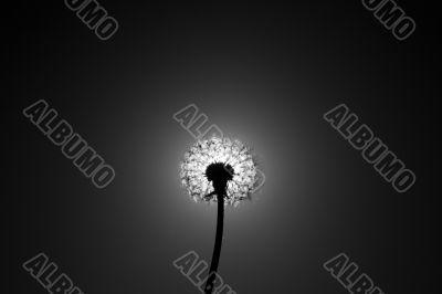 Dandelion close the sun disc