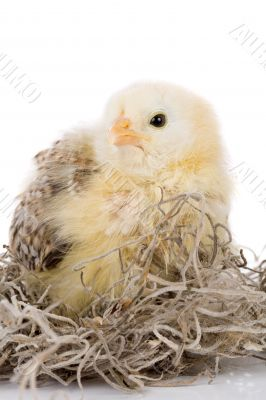 Grumpy little chick