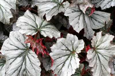 Angel-wing begonia