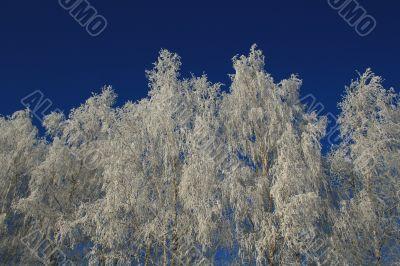 Birches in hoarfrost