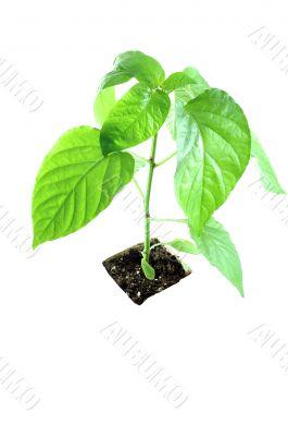 alone plant
