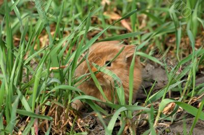 small red rabbit conceal among green grass