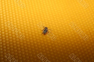 bee sitting on wax sheet