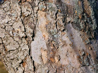 Brown-grey bark with blue moss