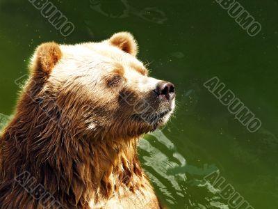 waiting bear