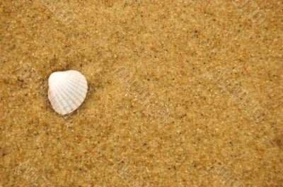 Sea shell on sandy beach