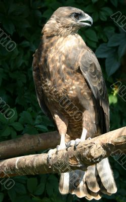 eagle sits on branch