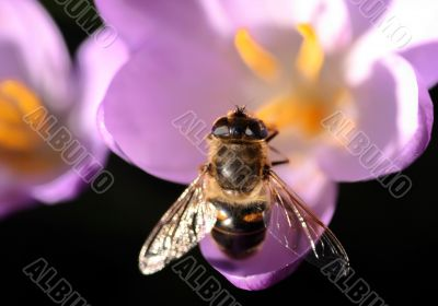 Bee pollinates Crocus