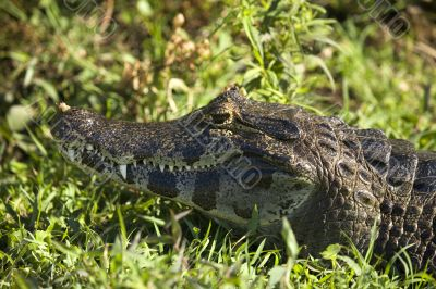 crocodile with closed mouth