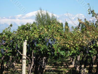 vineyard Mendoza Argentina