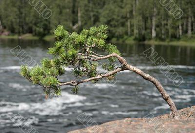 Zen pine-tree