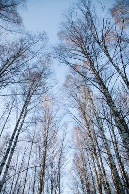 Crones of birches