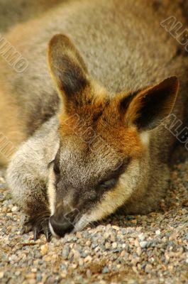 resting kangaroo