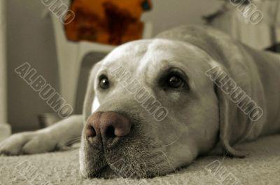 The feeling of color Labrador
