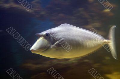 horn-fish