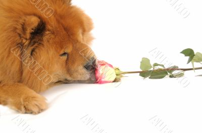Chow-chow enjoying aroma of the rose