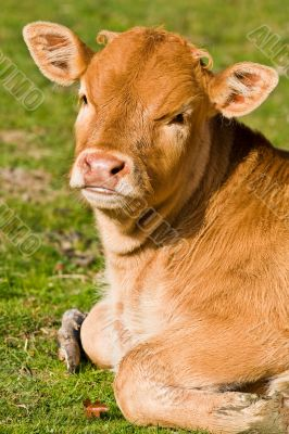 Cute brown calf in the meadow