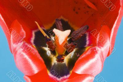 Tulip Bloom - Macro