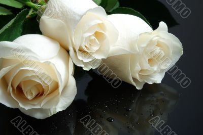 three white roses with waterdrops on black