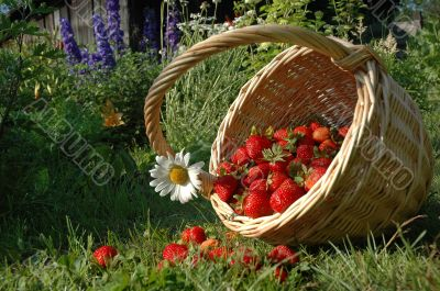 The Basket with berry.