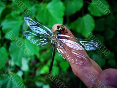 dragonfly and finger