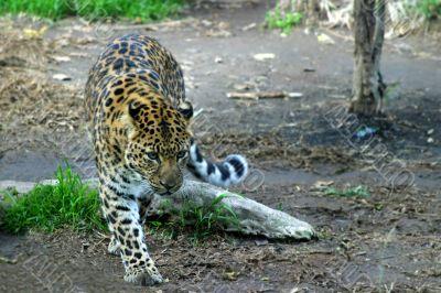 Amur Leopard 4889
