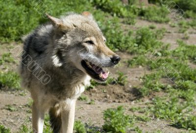 Wolf  in steppe