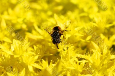 Yellow Flower with Insect