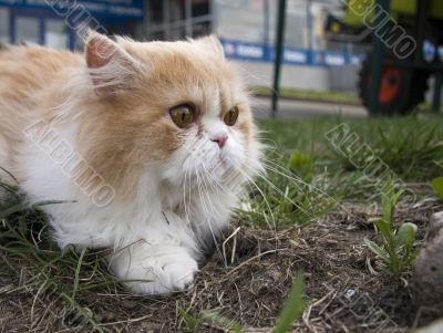 pedigree persian creem cat outdoors in sity