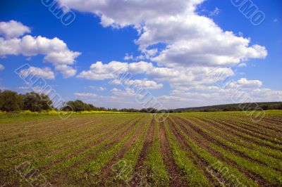 Green agricultural sow field and blue sky