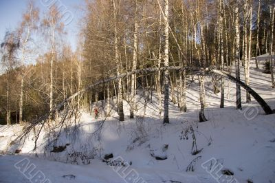 Birches in sunny winter day