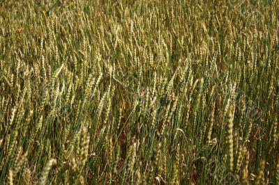 Wheaten spikes