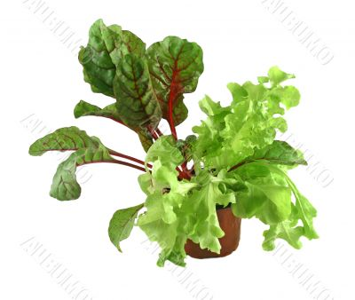 Red Shard And Curly Lettuce