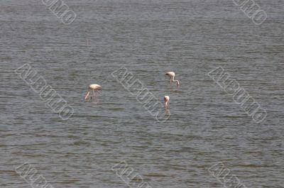 Flamingos in coastal lagoon