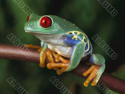 tropic frog