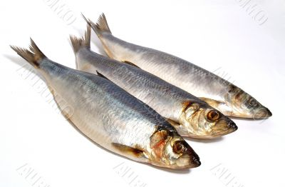 fish herring