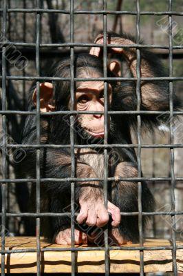 A little chimpanzee