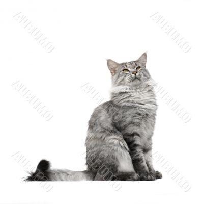 maine coon cat