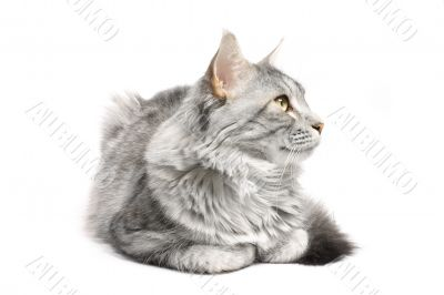 maine coon cat isolated on white background