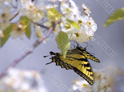 Yellow Monarch