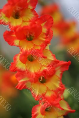red and yellow gladiolus