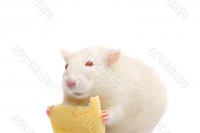fun white rat with cheese