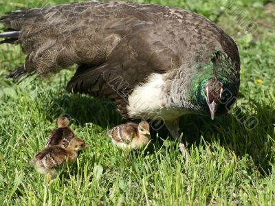 Peacock chick with kids