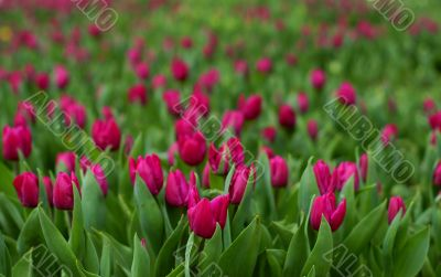 tulip field-flower garden